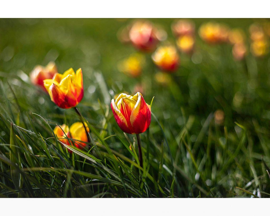 tulpen in Goeree Overflakkee